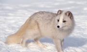 Tissavel Arctic Fox Faux Fur Per Meter