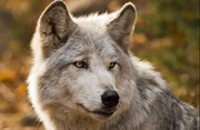Tissavel Tundra Wolf Grey Faux Fur Headband